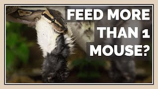 Can You Feed Snakes more than 1 Mouse / Rat at a Time?