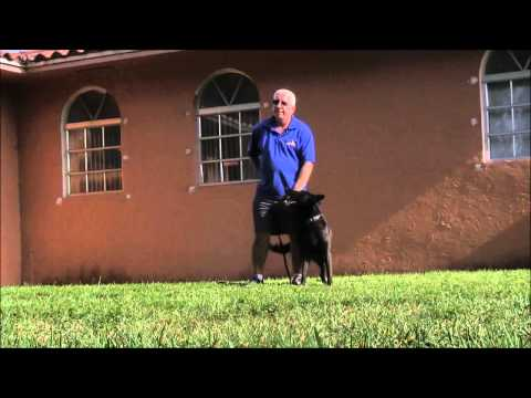 Teaching a personal protection dog to stay under control