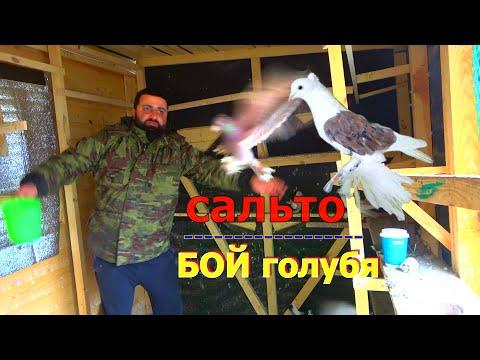 БОЙНАЯ ПОРОДА ГОЛУБЕЙ slaughterhouse pigeon breed (Ленинаканские Армянские)
