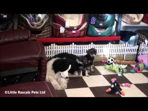 Little Rascals Uk breeders New litter of 3/4 Schnauzer puppies