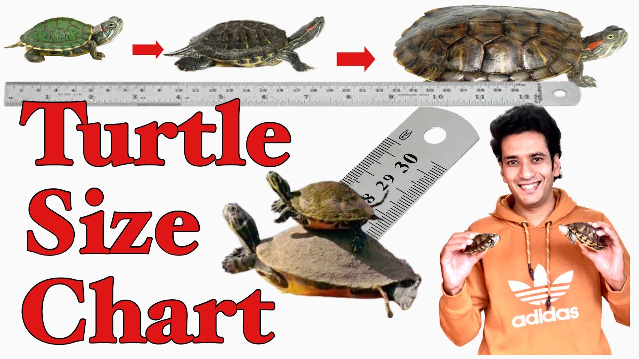 Turtle Size Chart Red Eared Slider Size Turtle Shell Colour Change Turtles Size Youtube