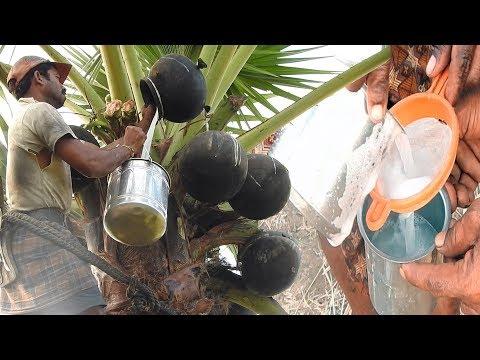 TODDY palmyra SAP | JUICE of Asian palmyra palm wine | HEALTHY THAATI KALLU | Neera | Pathaneer