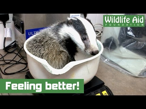 Little badger cub is a real fighter!