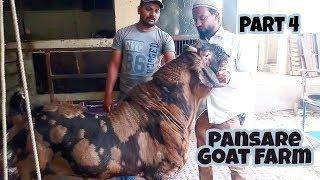big sirohi goat for sale || Pansare goat farm part 4