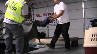 Royal Dog Training: Puppy Training (mercedes- 6 Month Old Pit Bull)- Basic Obedience/bite Work