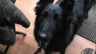 Belgian Sheepdog 'Claire' wants to go for a walk