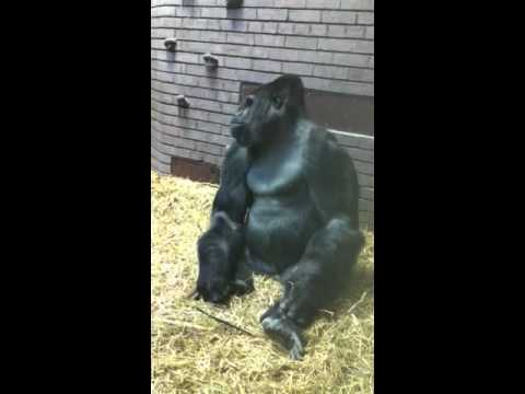 Angry gorilla at zoo did not like me ! - YouTube - photo#36