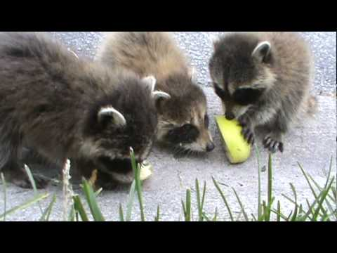 free hq baby raccoon - photo #25