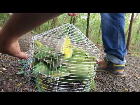 Releasing 13 Parrots | in Bairagarh , Bhopal , M.P