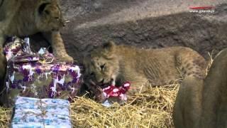 Lwy rozszarpały prezenty. Mikołaj odwiedził zwierzęta w gdańskim zoo