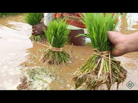 Cultivation - Life Cycle Of Rice