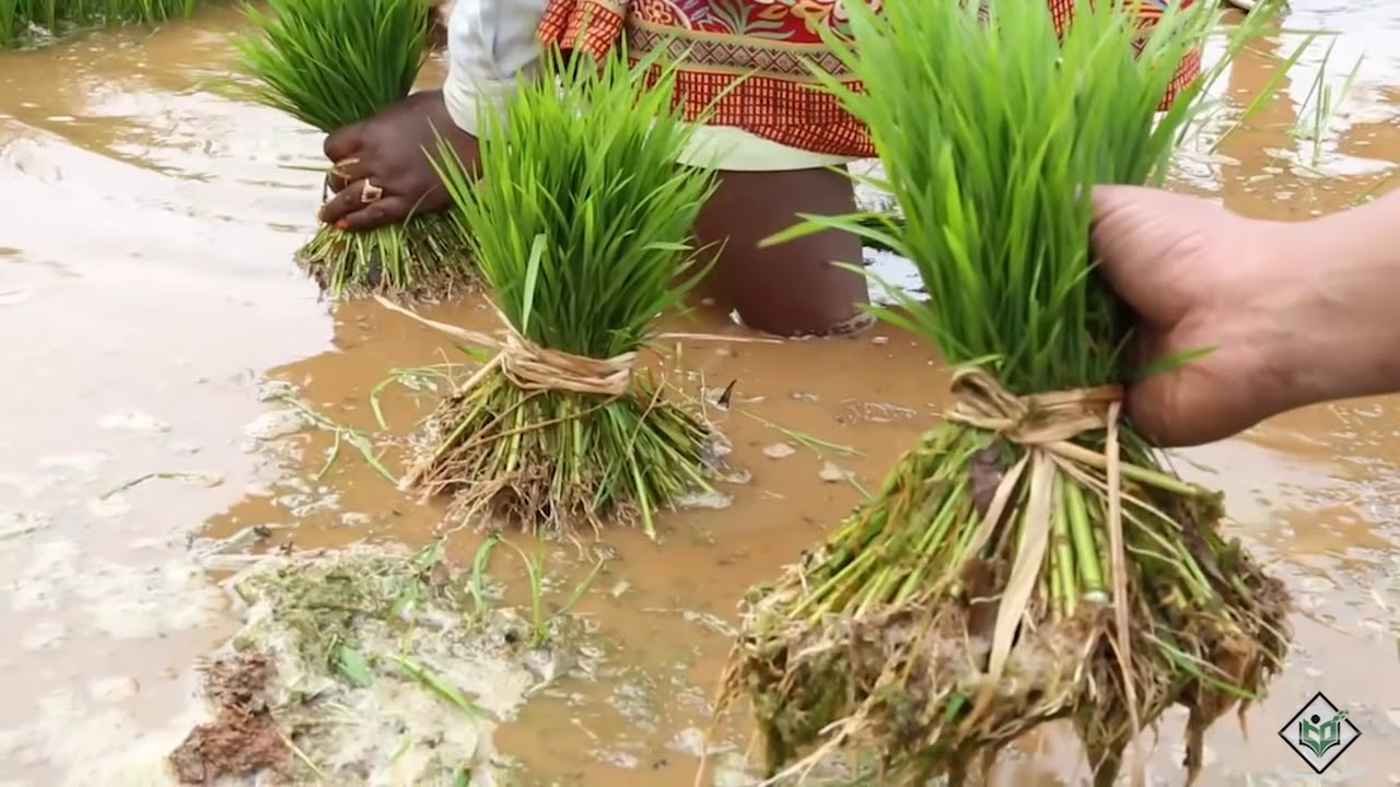 Cultivation Life Cycle Of Rice Youtube