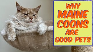 Is the Maine Coon a good pet? Experienced owner shares all!