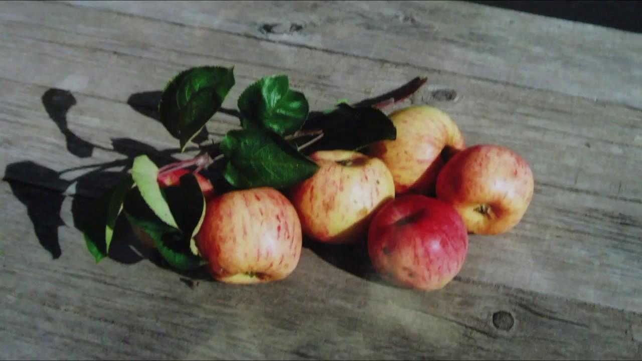 сорта яблок для северо-запада с фото
