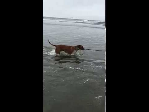 ApacheRidge Ranch Ridgeback Water Dogs