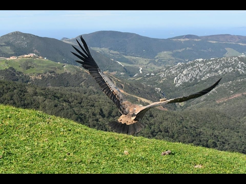 Release of Griffon Vultures at Jbel Moussa, northern Morocco