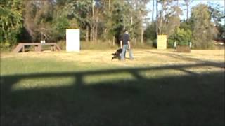 Jacksonville Dog Training-schutzhund Training Jim And Fedor Heeling