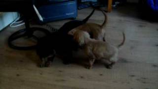 Cavalier King Charles Spaniel Pups Bungee Jumping.mov