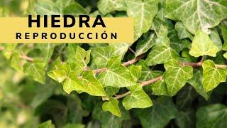 Reproducción y crecimiento de las hiedras - Bricomania