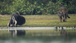 леопард хочет есть мясо - Гигантский муравьед, но не так, как ожидалось, боров, Лев