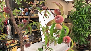 GROWING NECTARINES & PEACHES | LIVESTREAM
