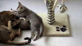Кошки породы оцикет