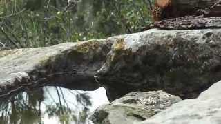 Sardinian warbler and Dunnock (Sylvia meganocephala), (Prunella modularis).