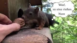 Bad Gasteiner Eichhörnchen 2019 Teil 2 - Hörnchen und ihre Liebe zu Nüssen