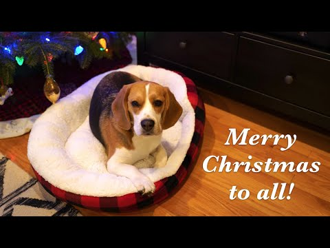 Cute beagle can't wait for Christmas to start