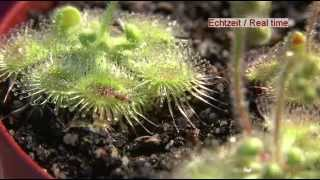 carnivorous plant drosera glanduligera use tentacles to capture insect