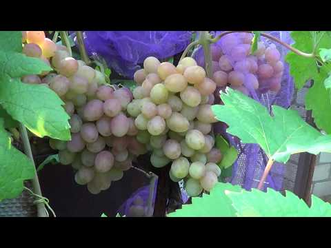 Сорта винограда. Гурман радужный. Виноград 2014.