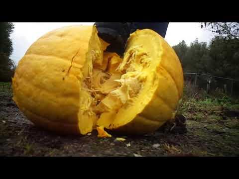 Timberland boots crush big pumpkin
