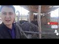BITTA TUYAQUSH 1 YILDA 1000 FOYDA KELTIRADI Hafta Yangiliklari mp3
