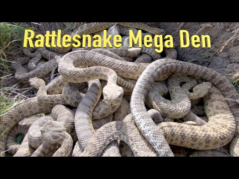 RattleSnake Mega Den Footage  This is on