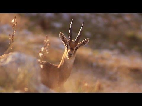 צבי ארץ ישראלי  mountain gazelle