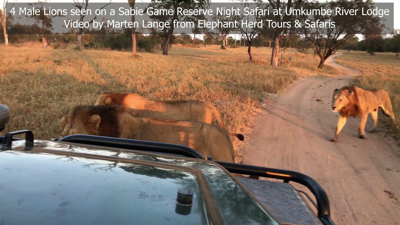 4 Male Lions:  Sabie Game Reserve bordering Kruger Park