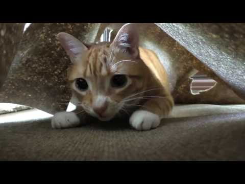 OSU ANS 420W 2017 Group 6 Declawing Cats