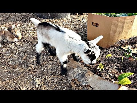 Raising Dairy Goats in Your Permaculture Backyard