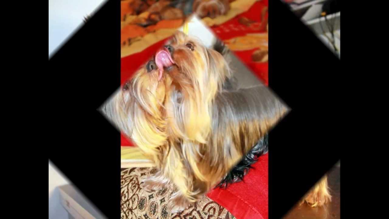 бланк ркф на дисплазию у собак
