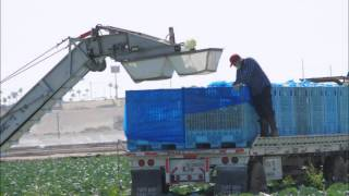 H-1B Visa Workers, Lettuce Picking, Dole, Agriculture in Yuma, Arizona's $4,000,000,000 Industry