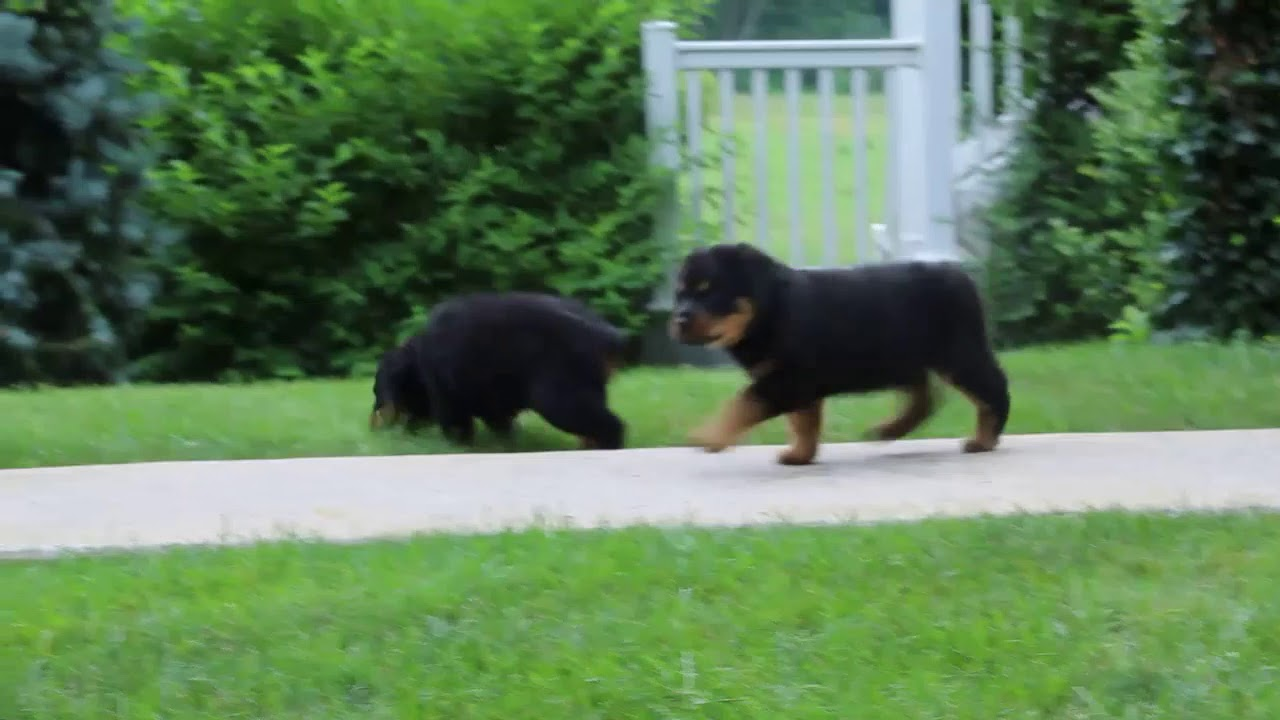 Rottweiler Puppies For Sale John King