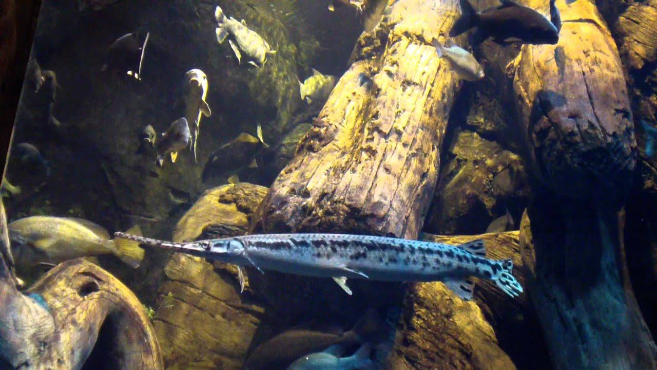 Needle Nose Gar At The Georgia Aquarium Freshwater Exhibit