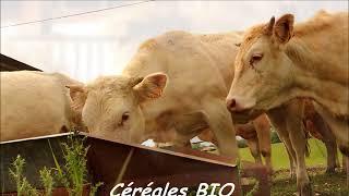 Elevage bio de bovins viande en plein air intégral
