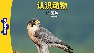 Meet the Animals 15: Peregrine Falcon (认识动物 15:游隼) | Level 2 | Chinese | By Little Fox