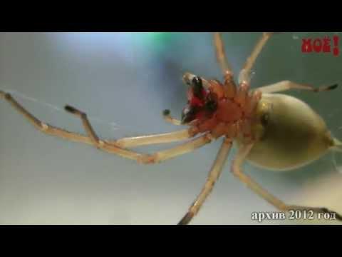 Вопрос: Какие ядовитые пауки водятся в Воронежской области?