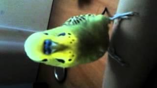 Кеша смеётся!(Волнистый попугай Кеша разговаривает и смеётся! Хихикает,говорит Кешка Кешка малипусечка,я тебя люблю., 2012-07-20T15:07:39.000Z)