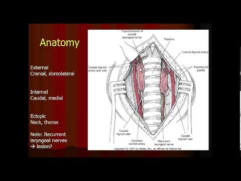 Parathyroid Gland Anatomy in the Dog and Cat - YouTube