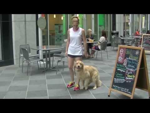 Carmella: 11-month old Season's Gold Golden Retriever in Uptown Charlotte