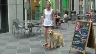 Carmella: 11-month Old Season's Gold Golden Retriever In Uptown Charlotte