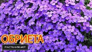 Обриета выращивание из семян / цветочный ковер / многолетние садовые цветы